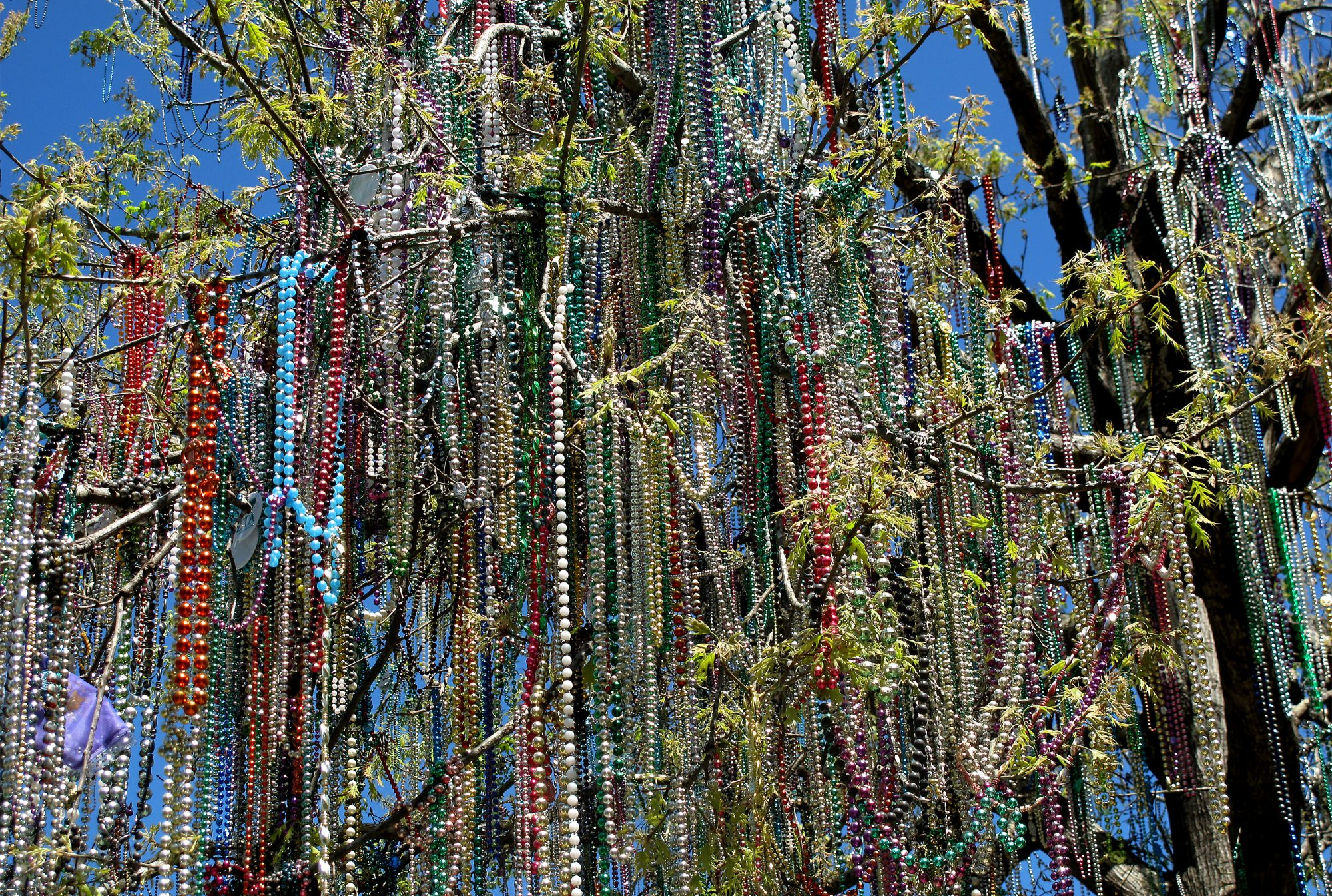 Tulane Bead Tree