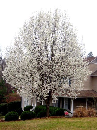 I Just Hate Bradford Pears Southern Living
