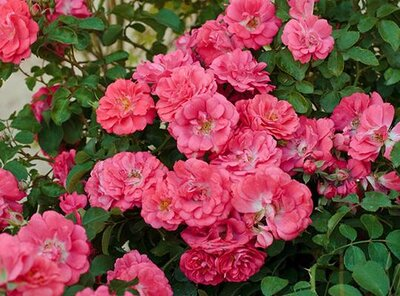 8bc41a5c8 A Better Rose Than Knock Out | Southern Living