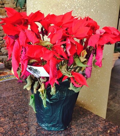 Poinsettias After Christmas Now What