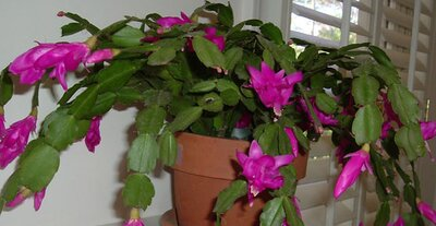 Christmas Cactus.The Perfect Holiday Plant Christmas Cactus Southern Living