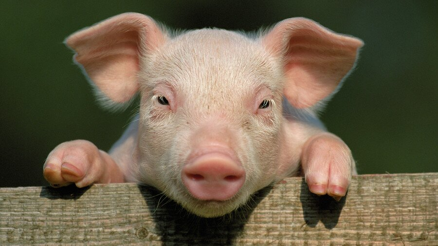 Our Favorite Southern Pig Names