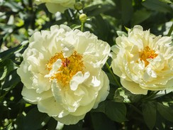 Lemon Chiffon Peony Is the Summer Bloom of Our Dreams