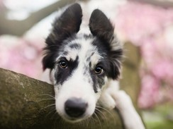 Herding Dog Resting on Tree Branch with Pink Flowers