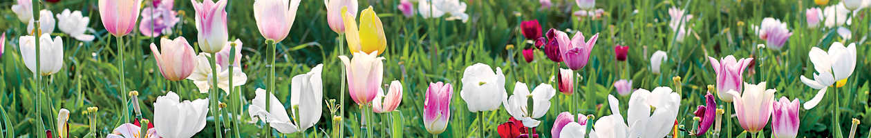 Pick Your Own Tulips at Burnside Farms