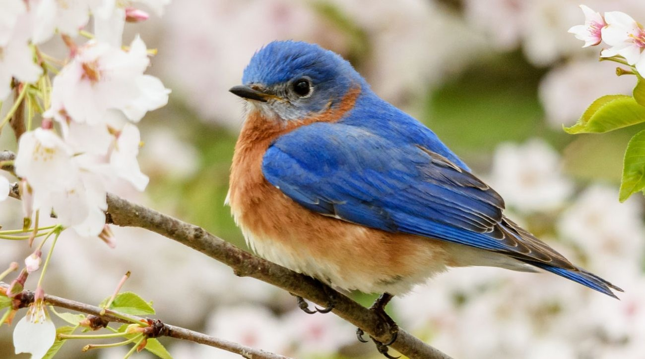 Eastern Bluebird on Cherry Blossom Branch