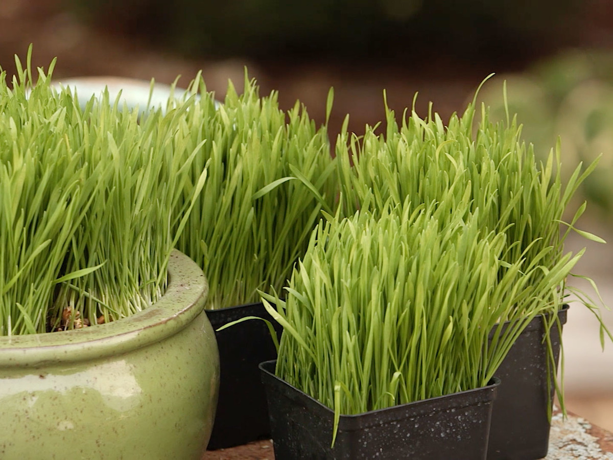 How To Grow Wheatgrass Still