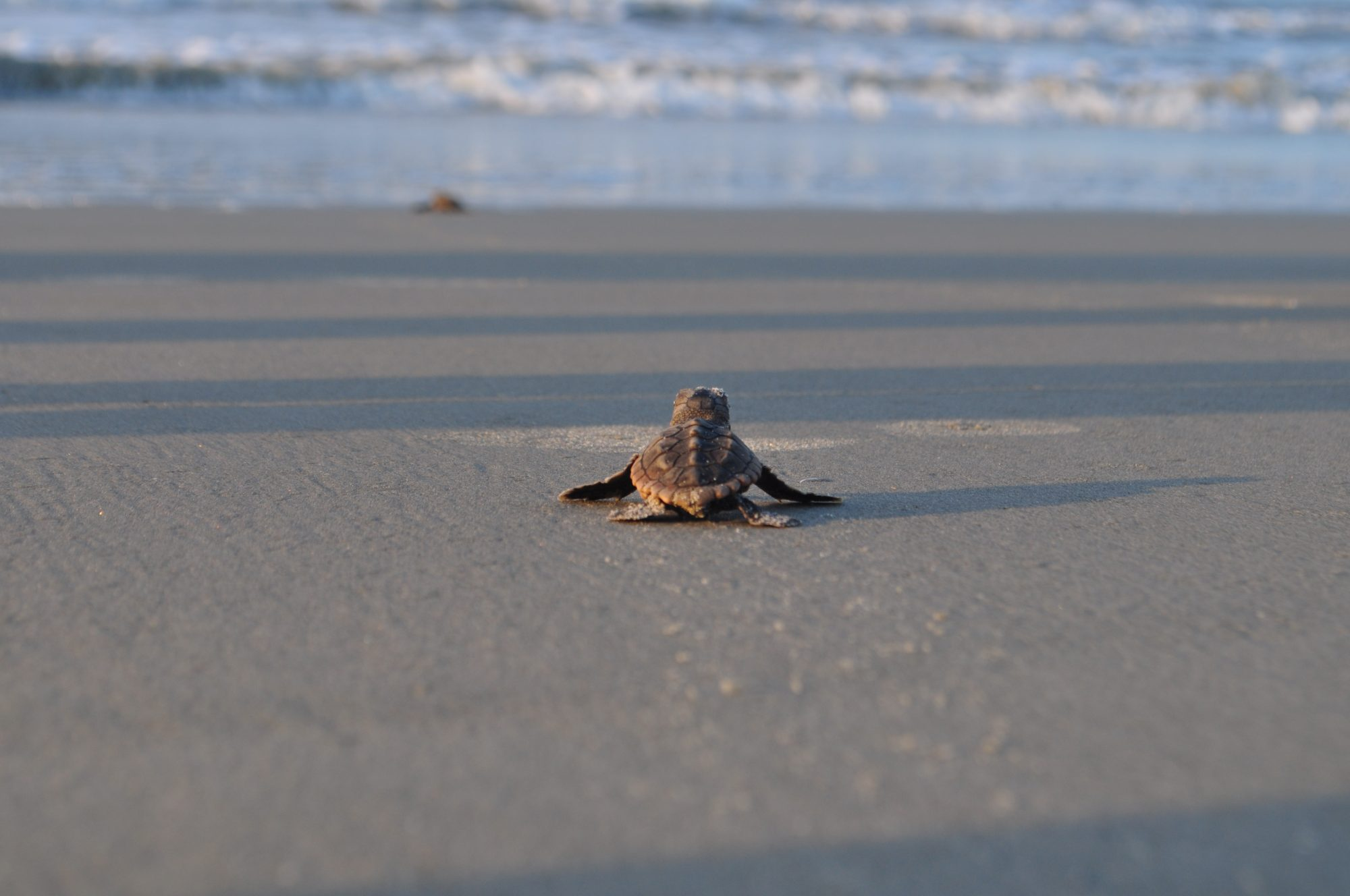 Sea Turtle on Kiawah Island