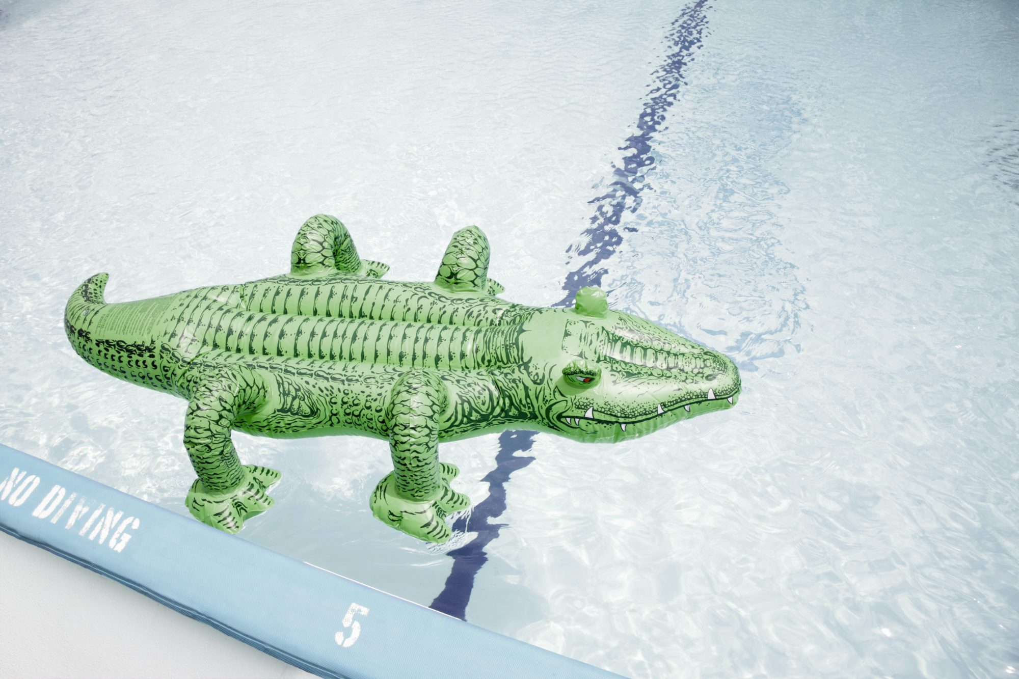 Alligator in Pool