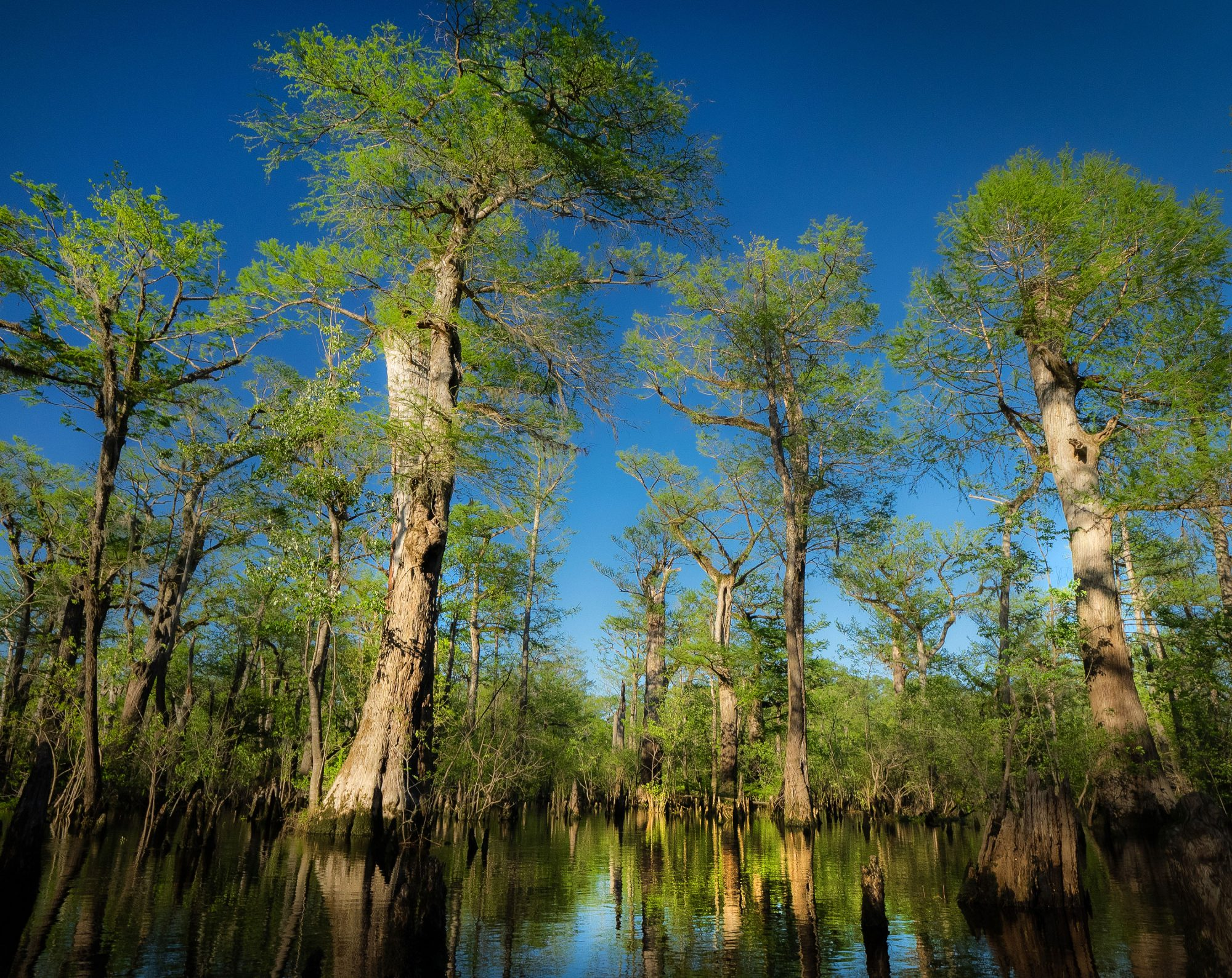 Black River Cypress Trees
