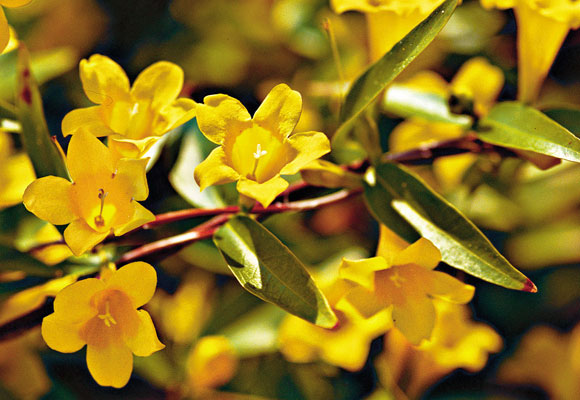The golden bells of Carolina jessamine herald spring in the South. Photo by Ralph Anderson.