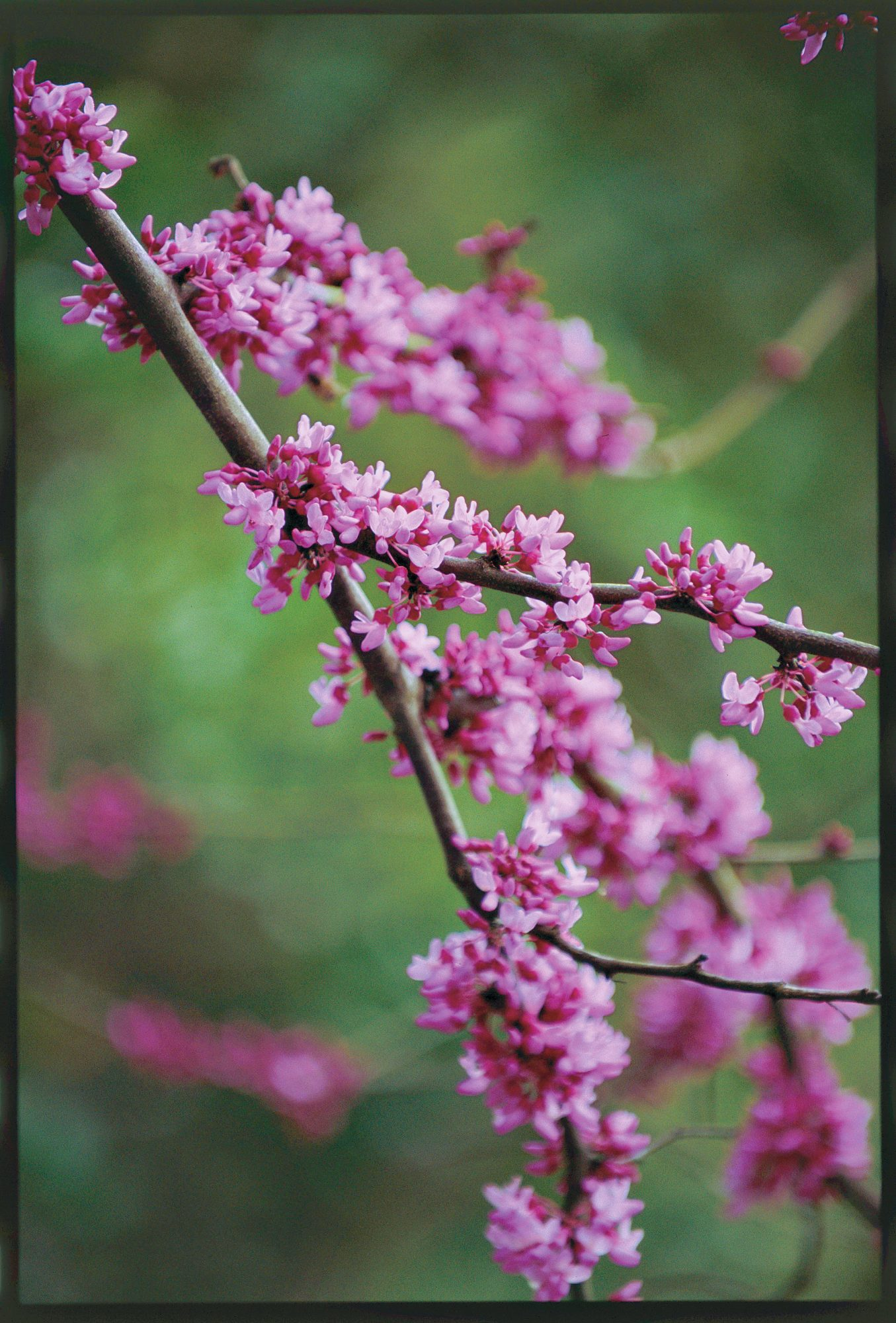 Red Bud