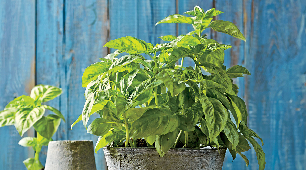 Bring on the Basil