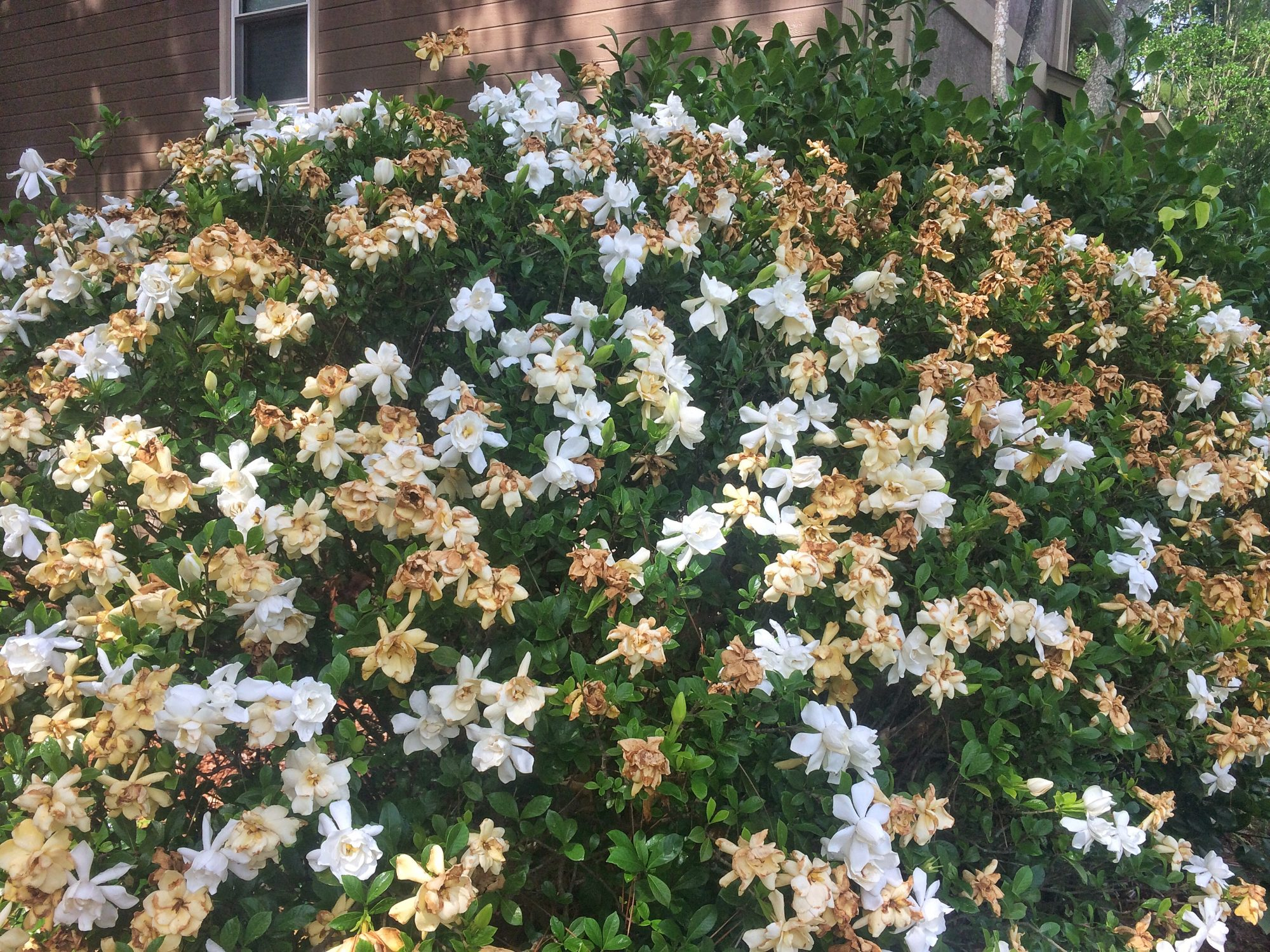 White and Brown Gardenia Flowers