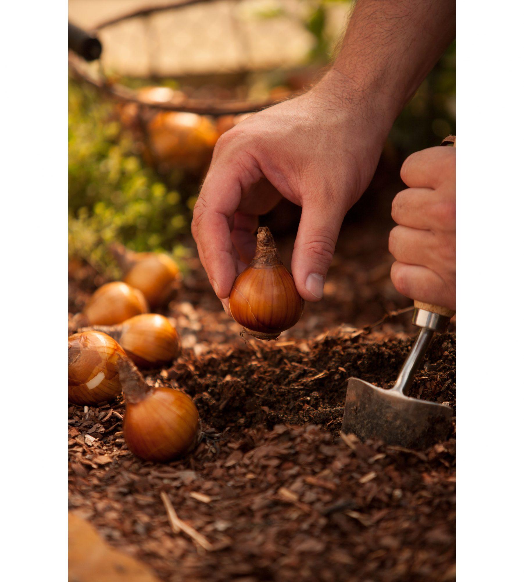Planting Bulbs in Garden