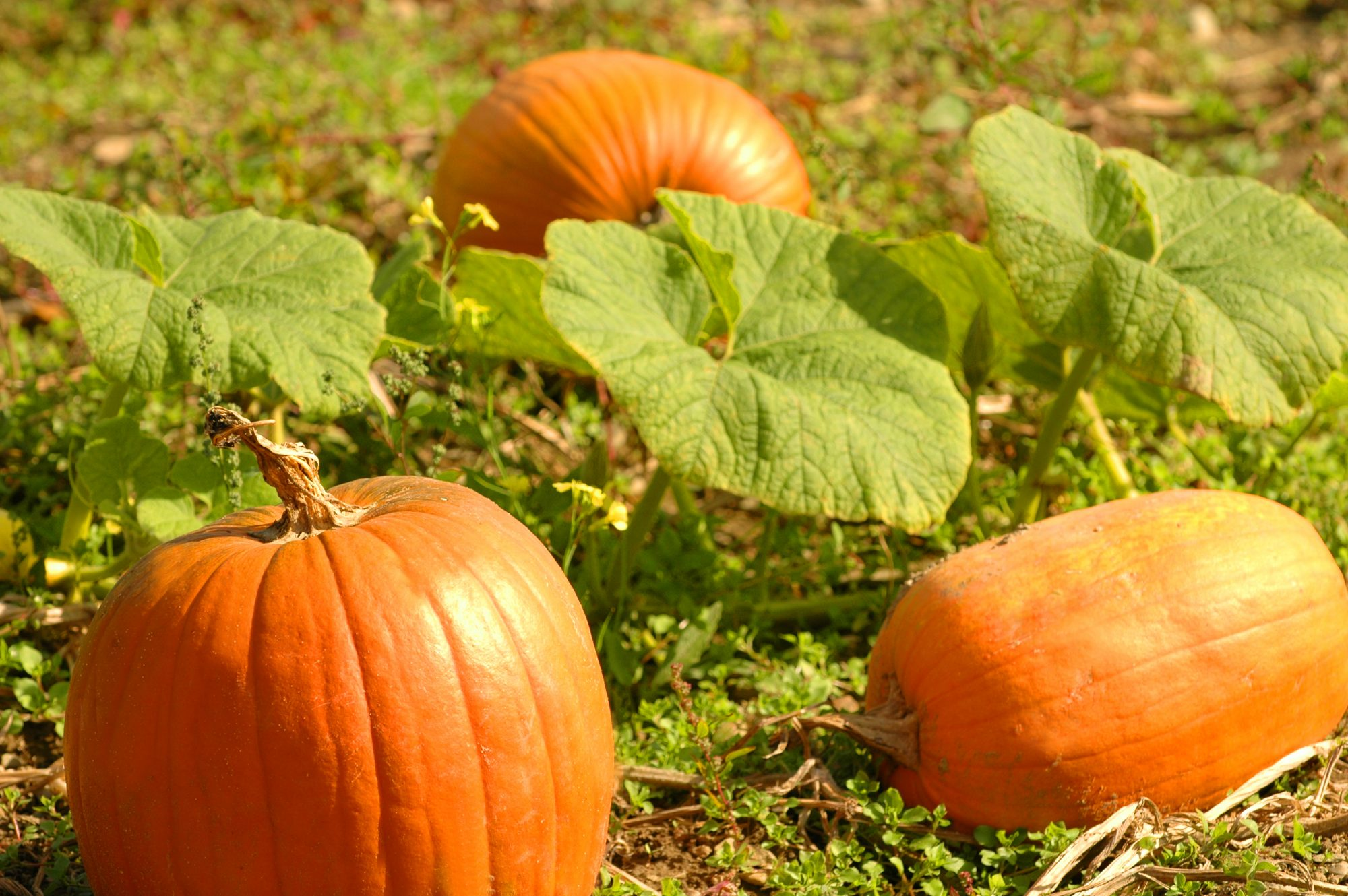 Pumpkins Growing in Field