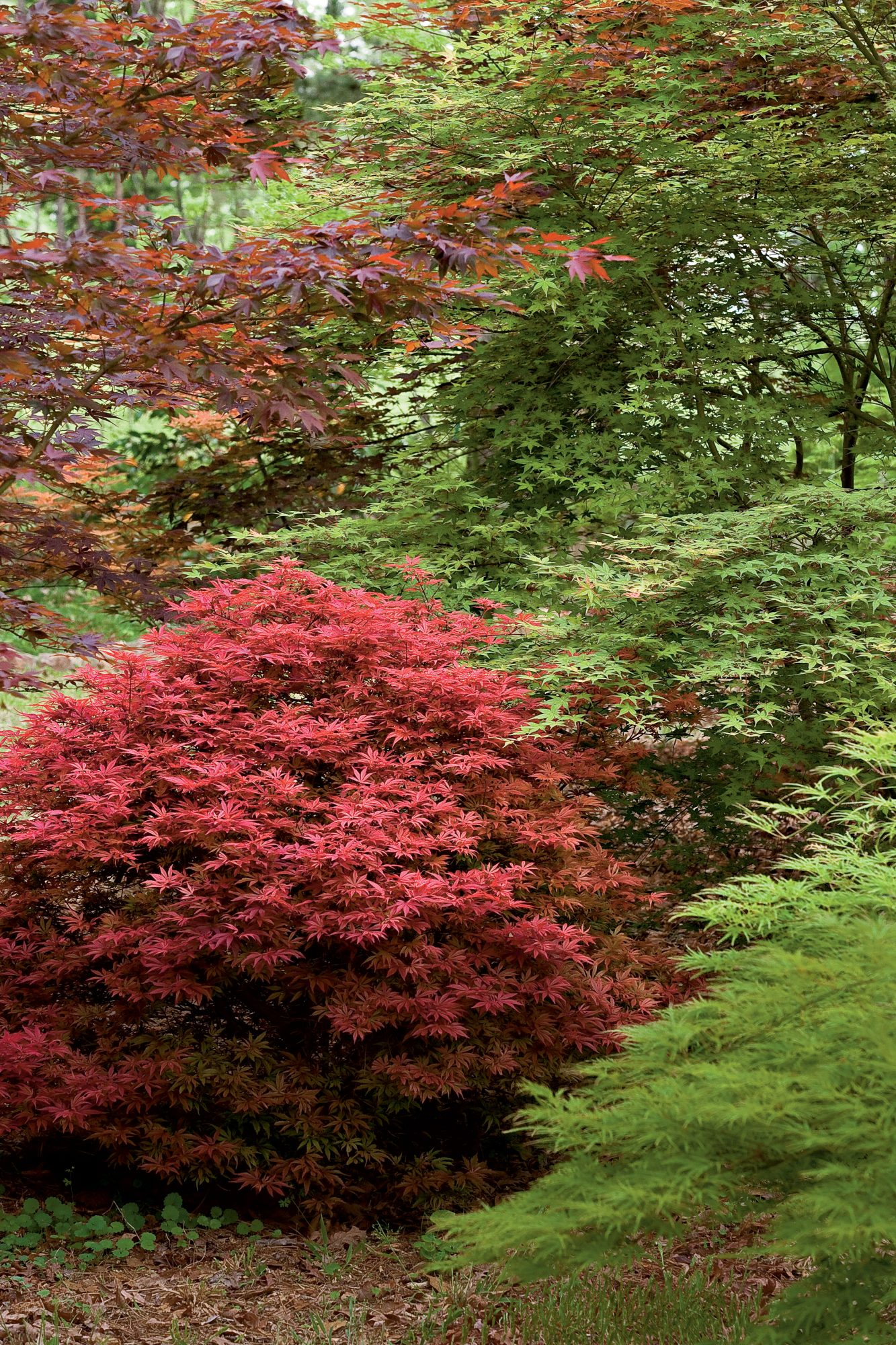 Red Maple Tree in Fall