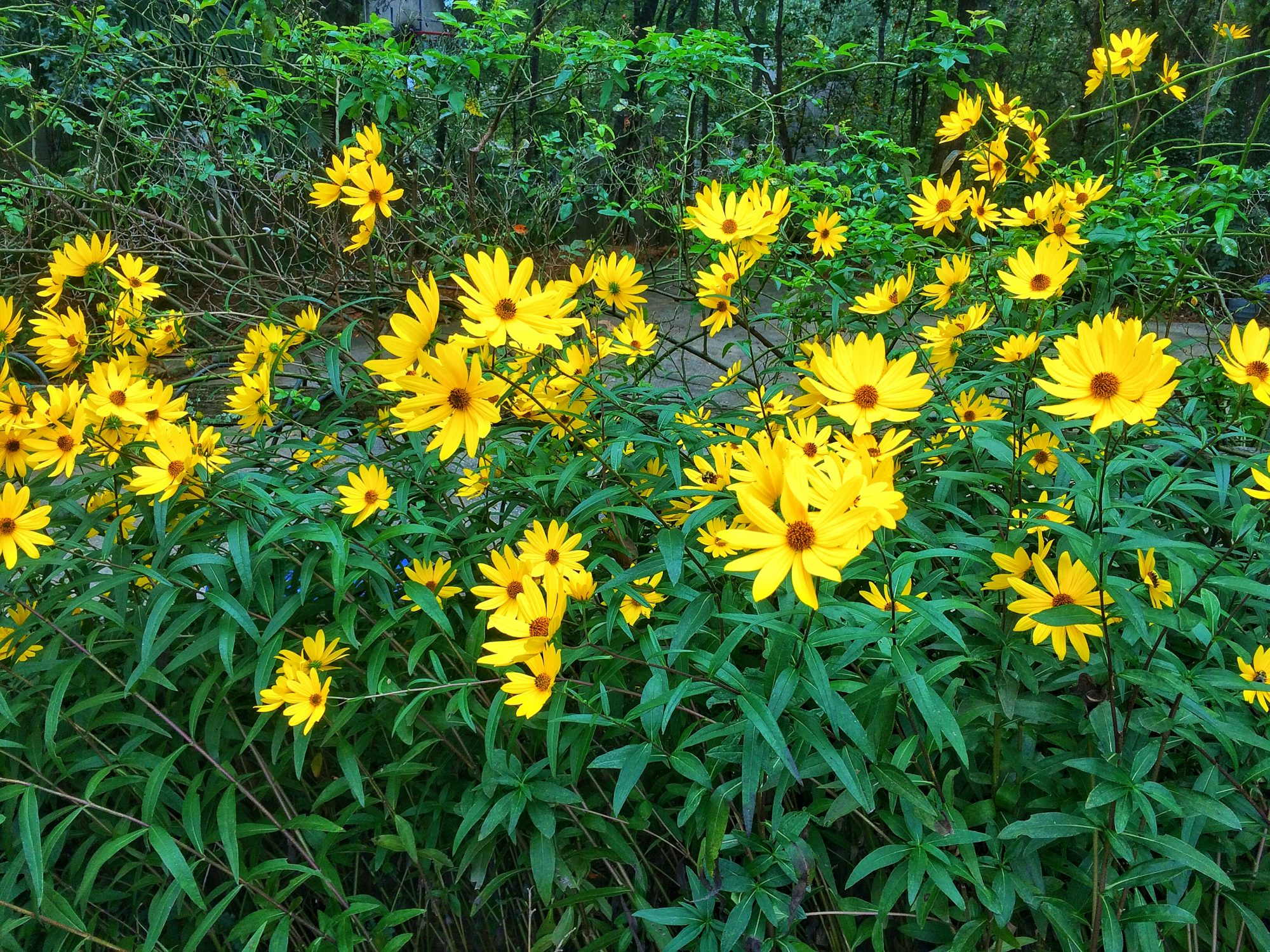Swamp Sunflower Blooms