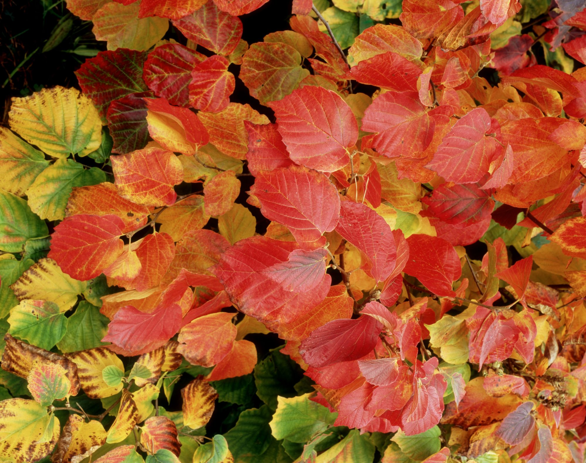 Fothergilla Fall Foliage
