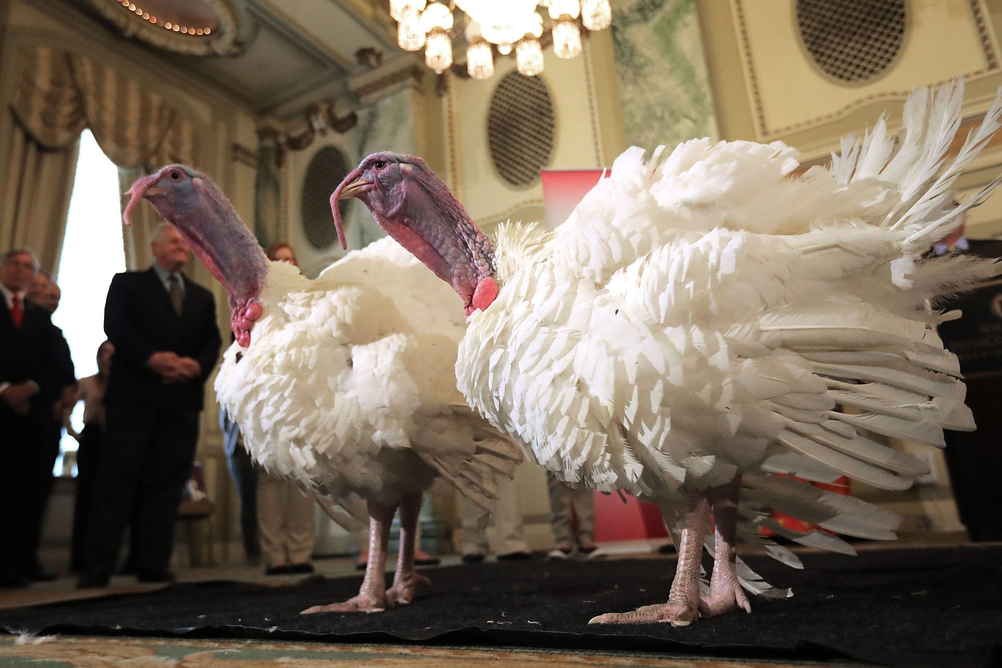 Wishbone and Drumstick Presidential Turkey Pardon