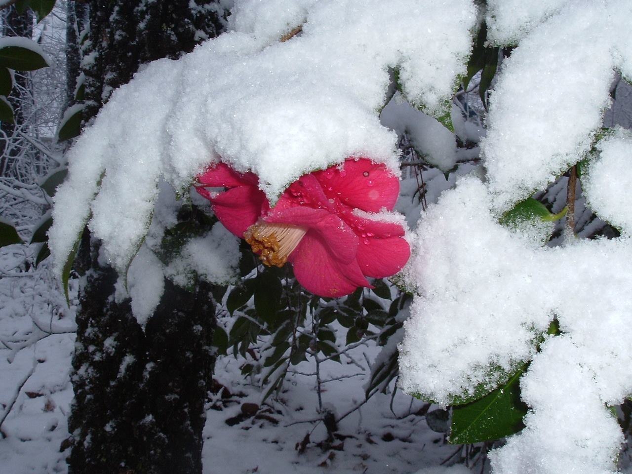 camellia and snow