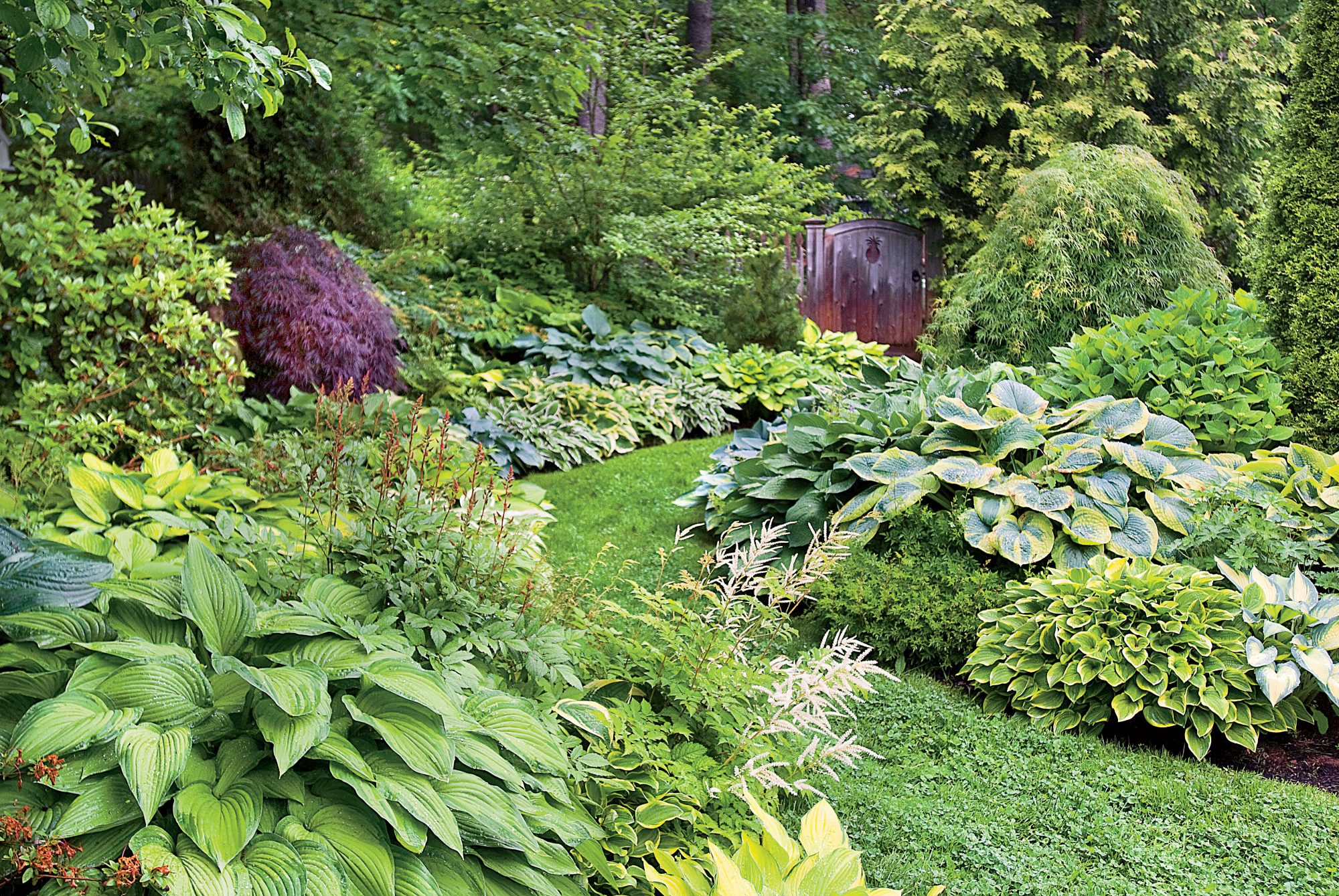 Hostas Plants in Garden