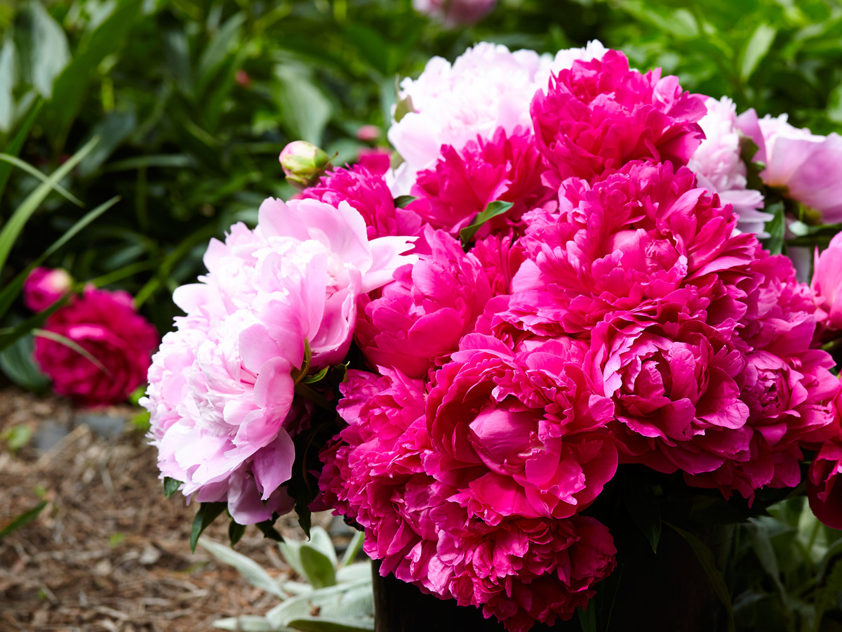 Peonies in Bucket in Garden