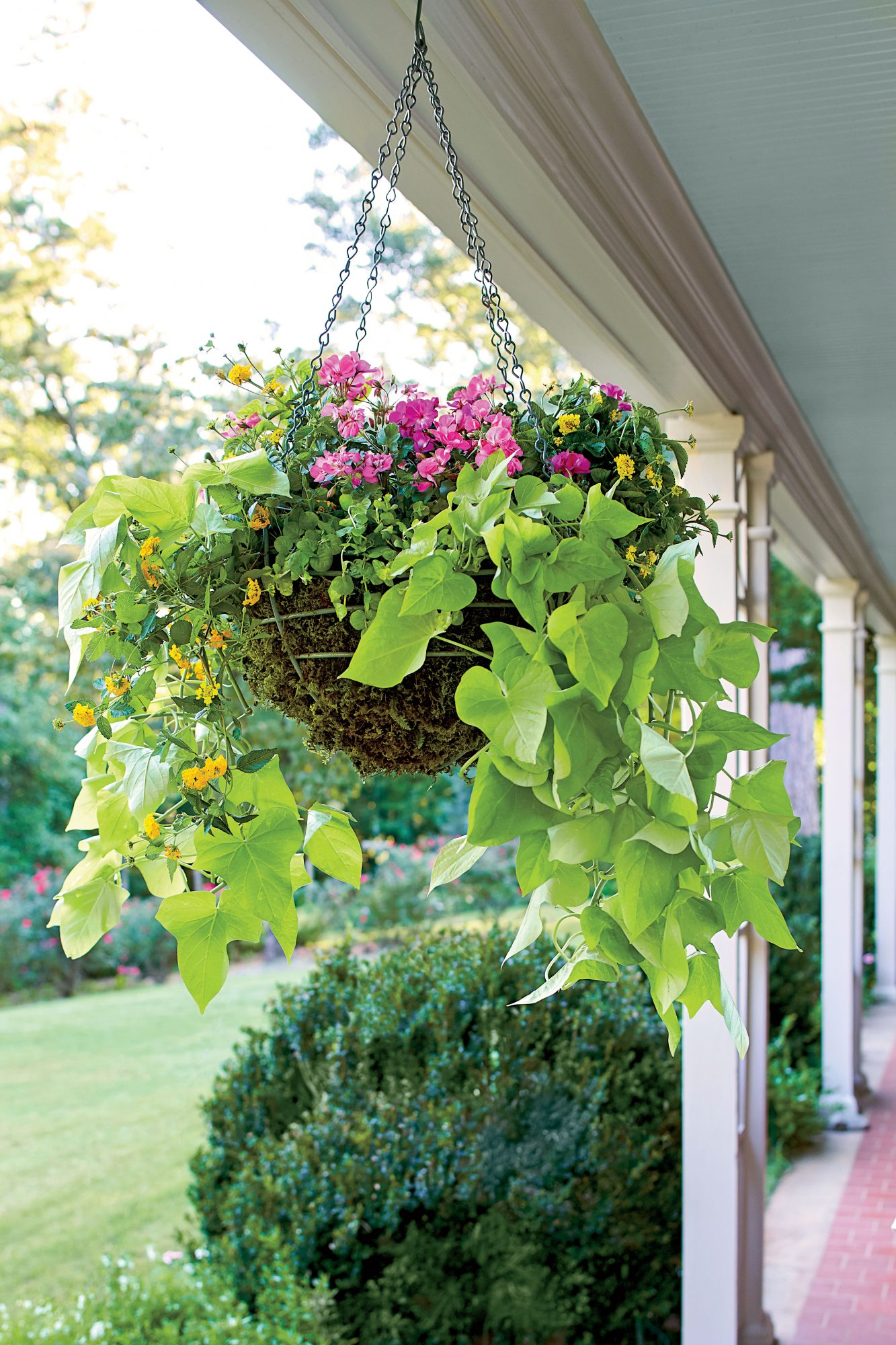 Sweet Potato Vine Hanging Container Basket