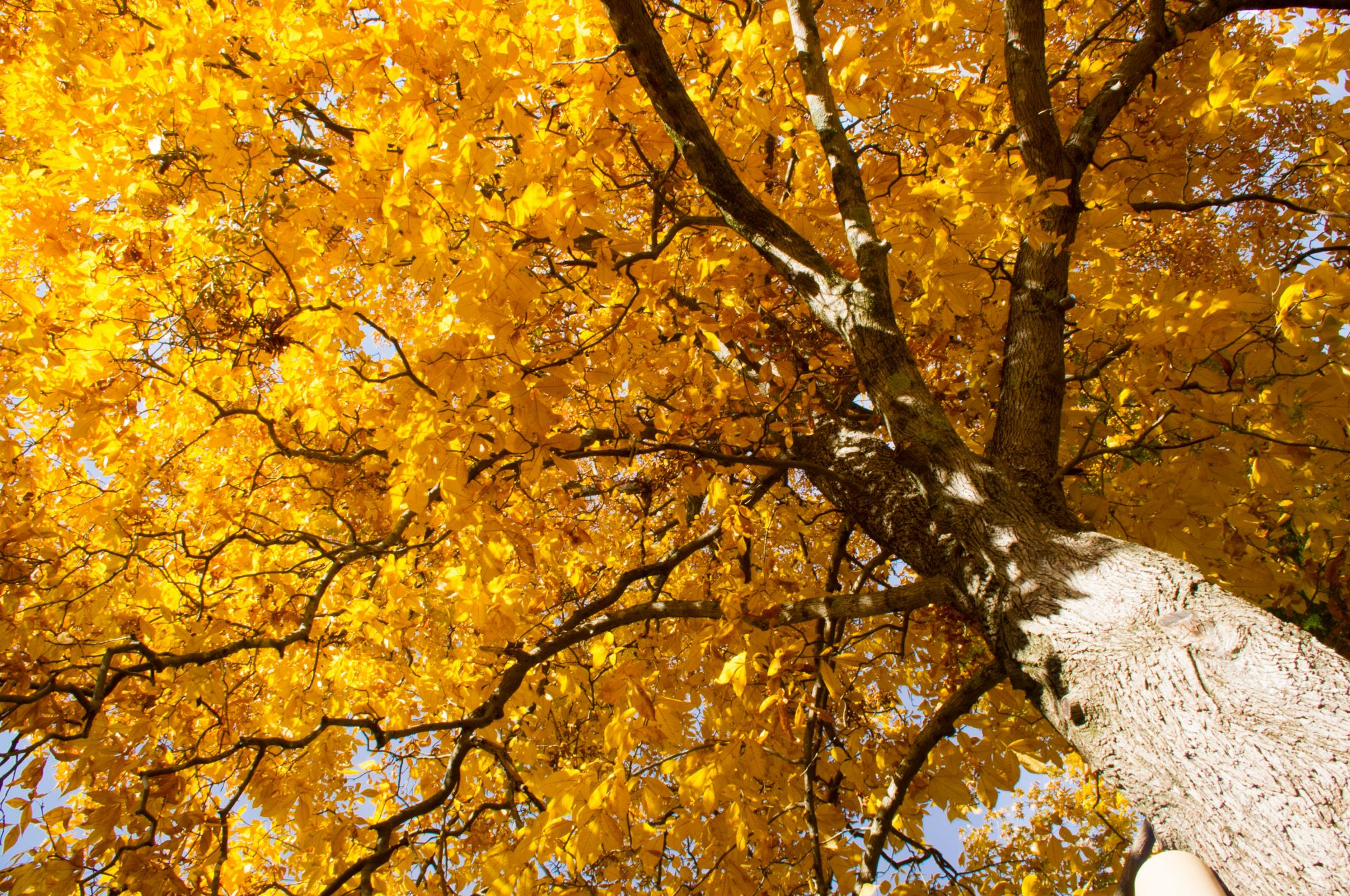 Pignut Hickory Tree with Fall Color