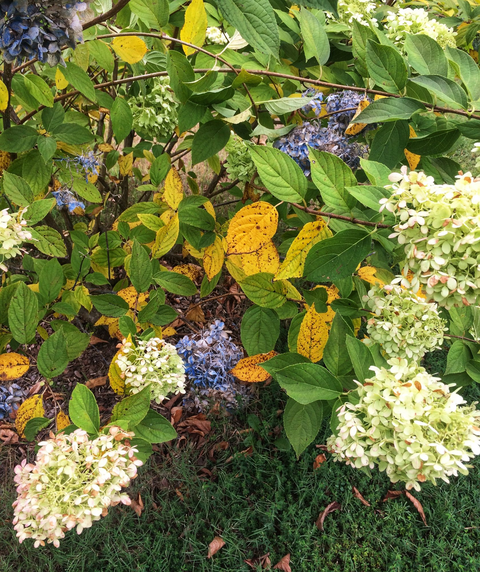 Yellowing Hydrangea Leaves