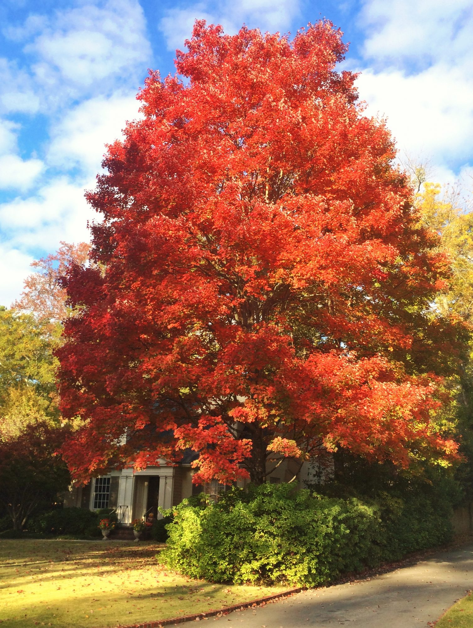 October Glory Red Maple Tree