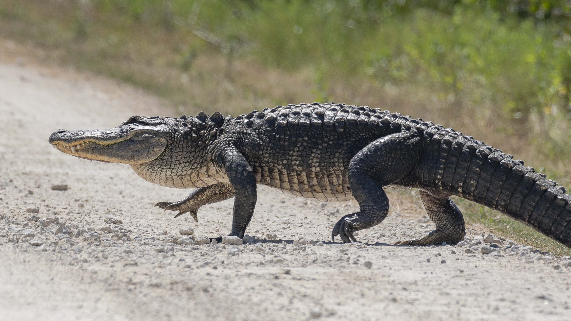 Alligator Crossing the Road