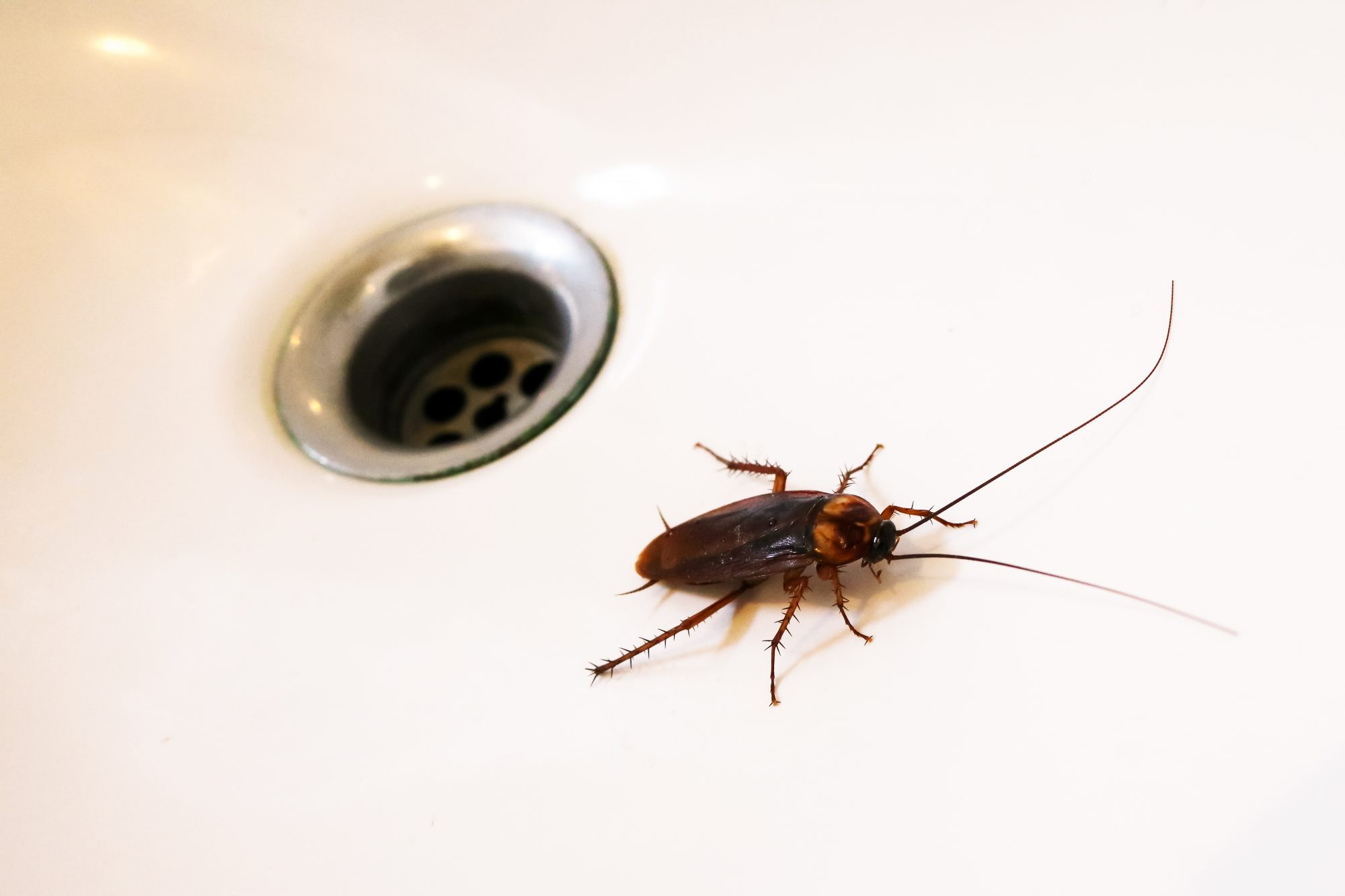 Cockroach in Sink
