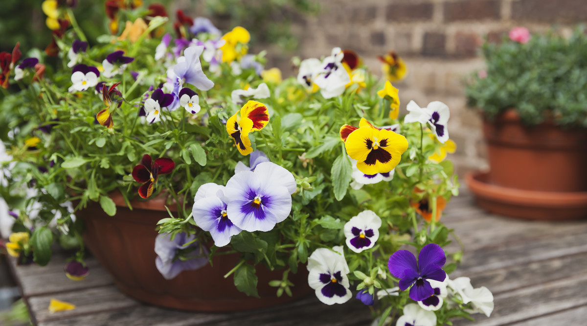 Pansies in Pot