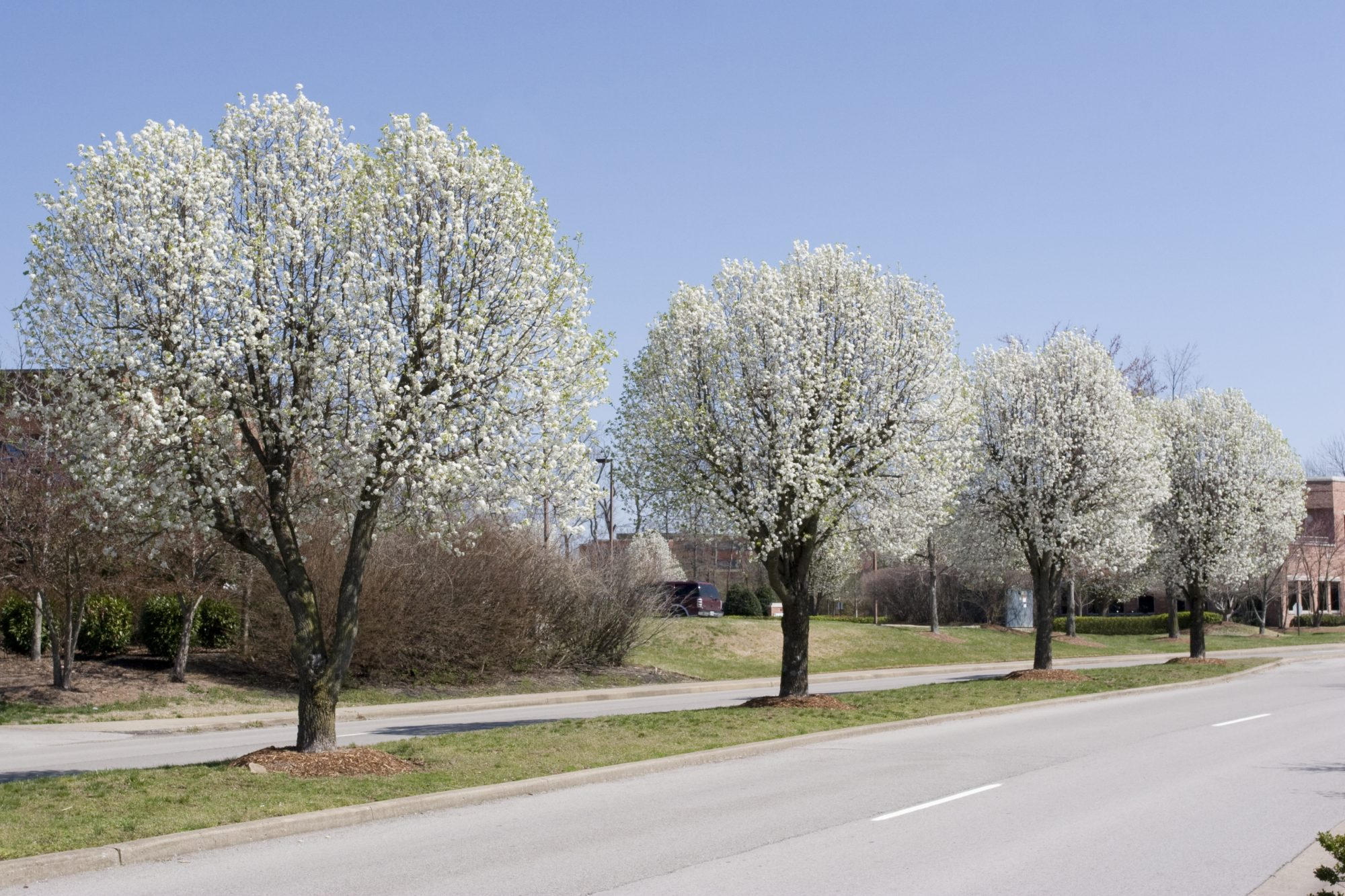 Street Lined with Bradford Pear Trees
