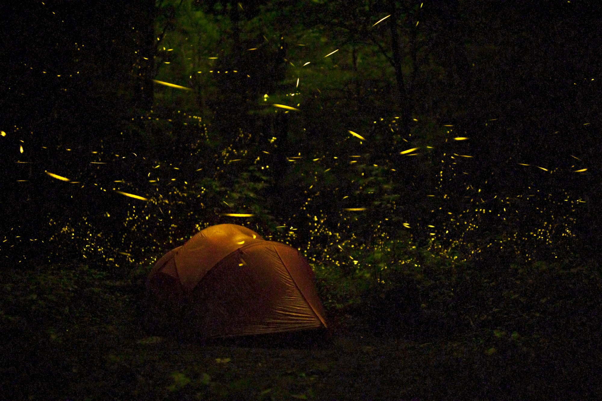 Great Smoky Mountains Synchronous Fireflies