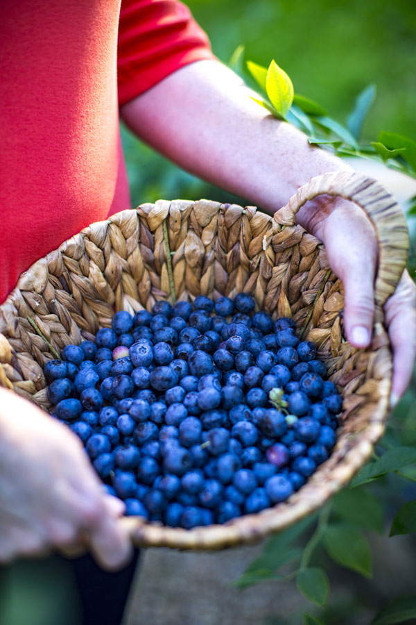Picked Blueberries in Basket