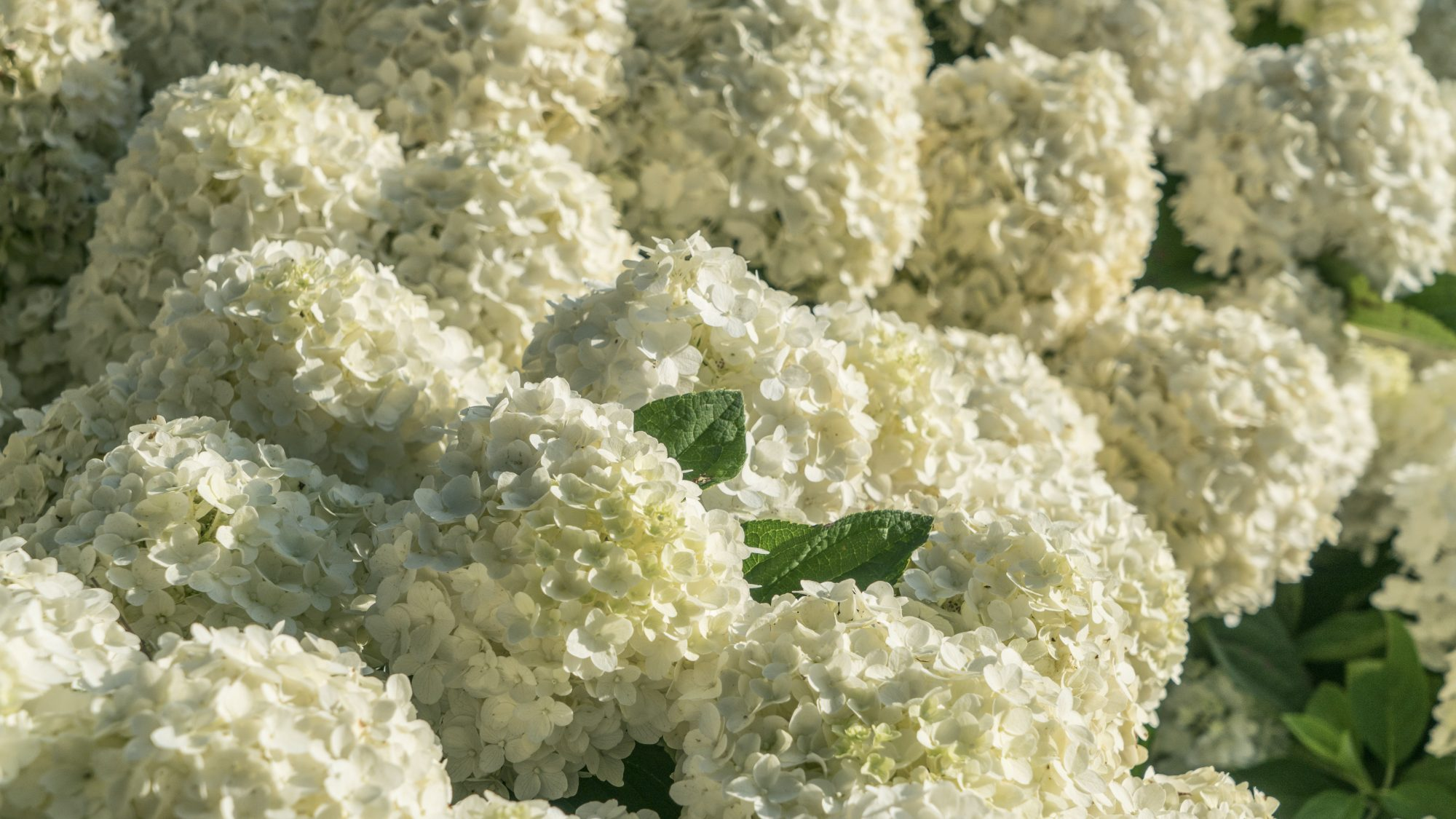 White Wedding Hydrangea