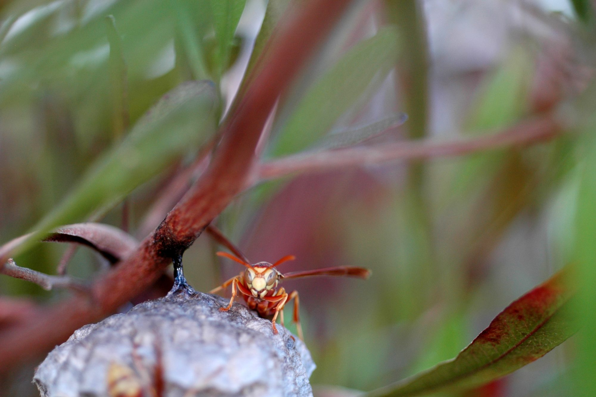 Red Wasp on Leaves