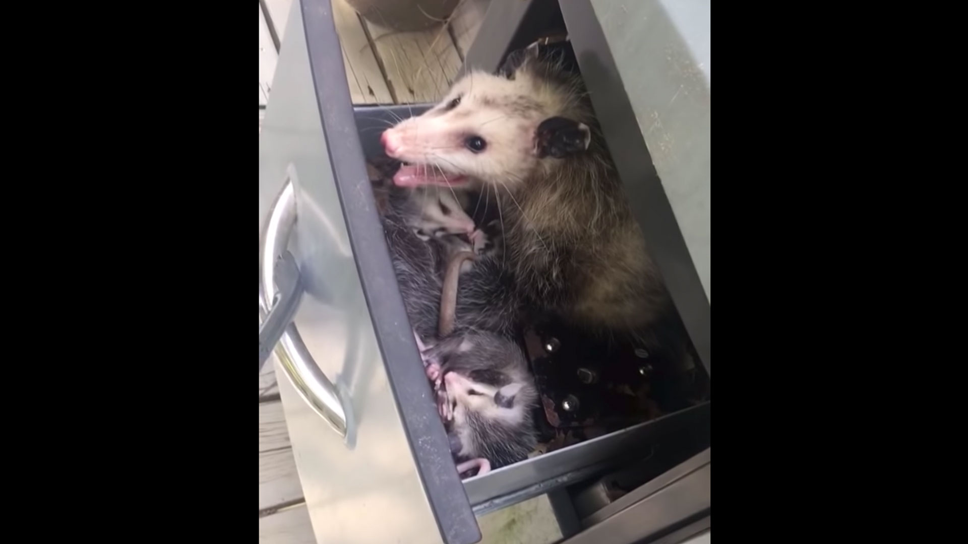 Opossum Family in Grill