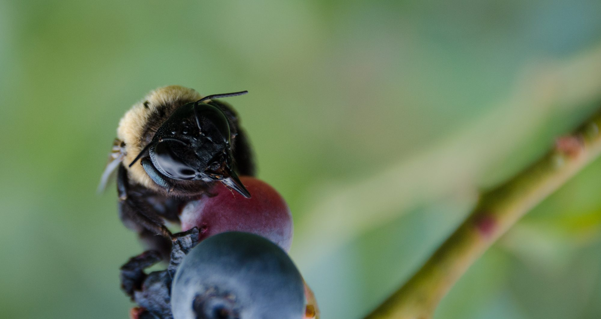 bee on blueberries