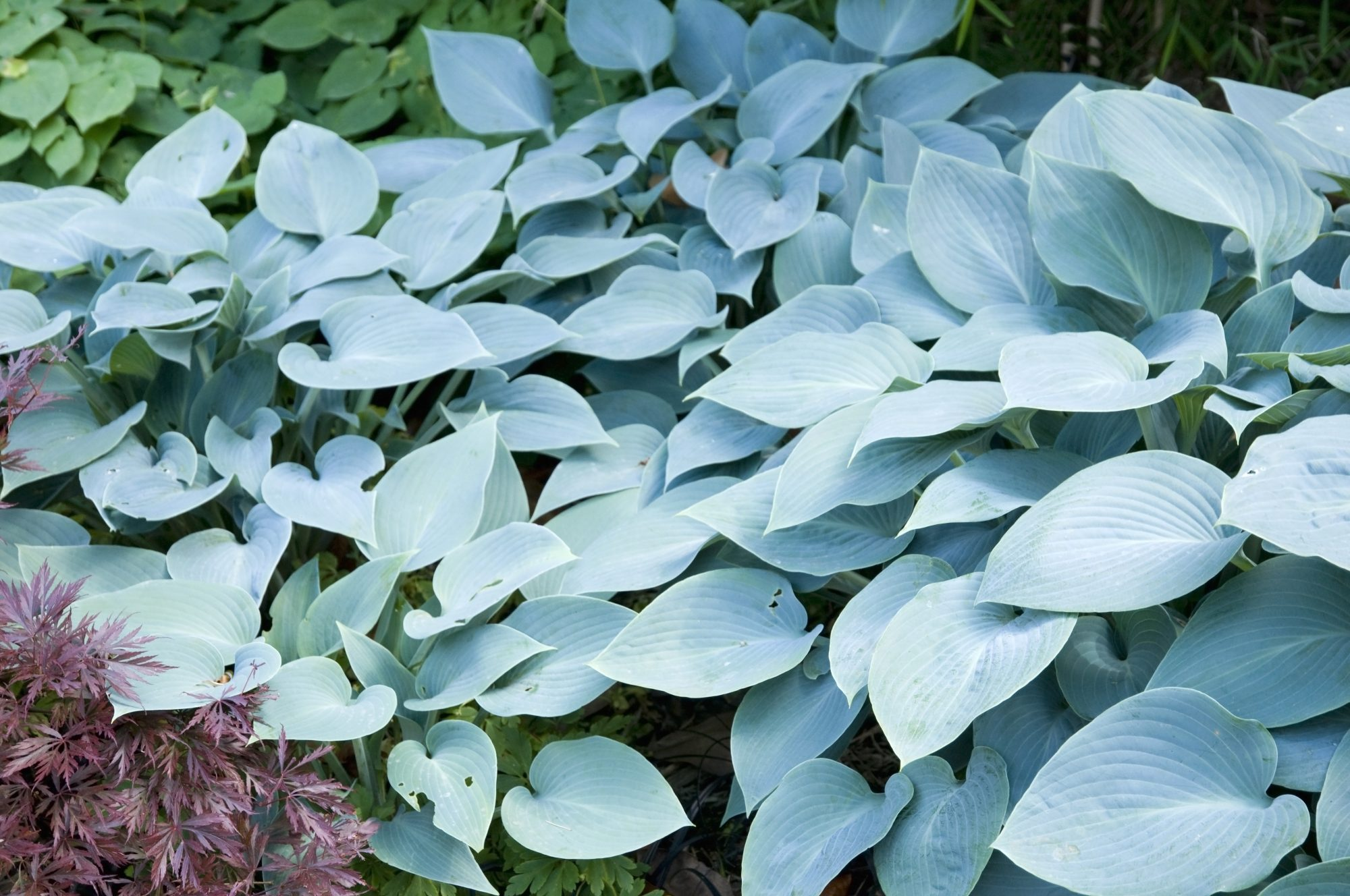 Blue Wedgwood Hosta