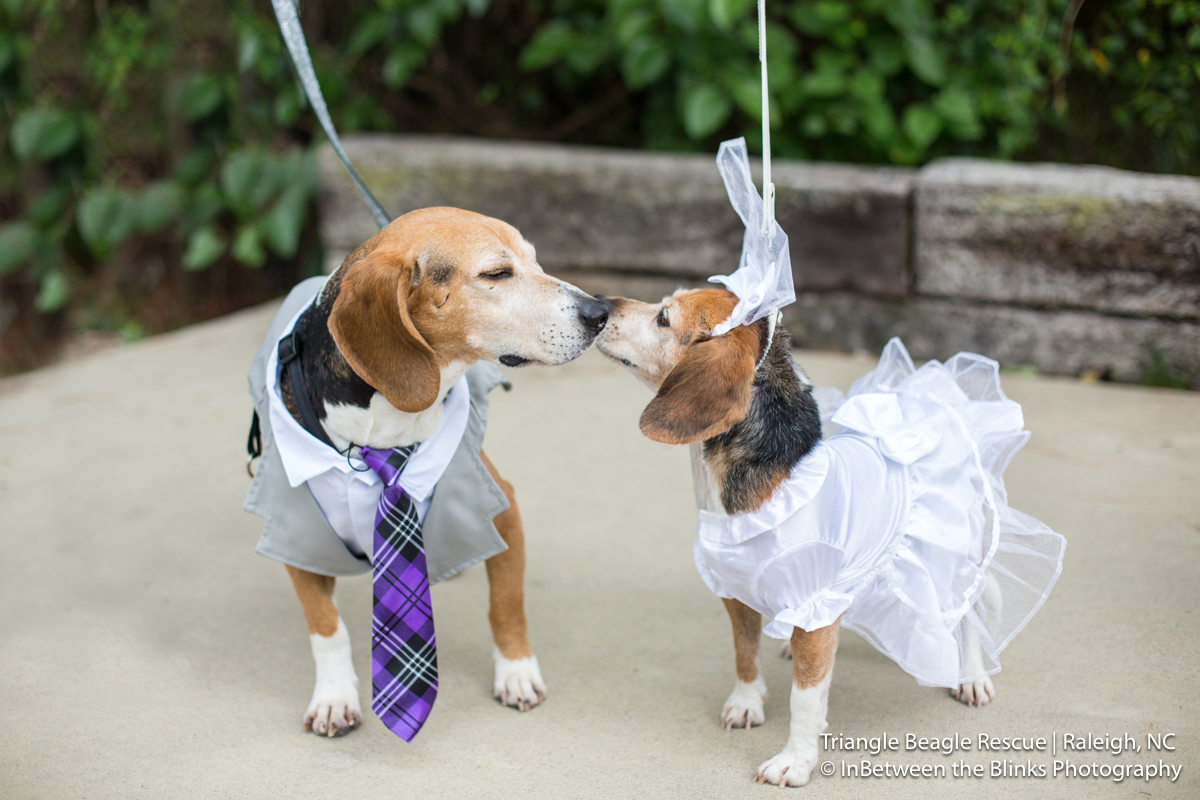 Beagle Wedding Kiss