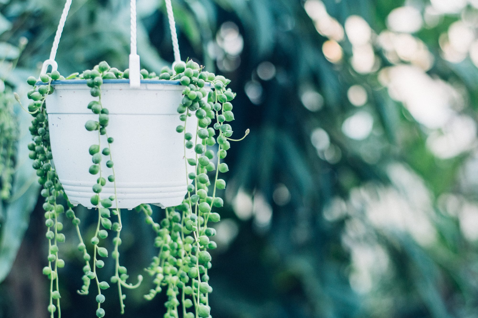String-of-Pearls Plant