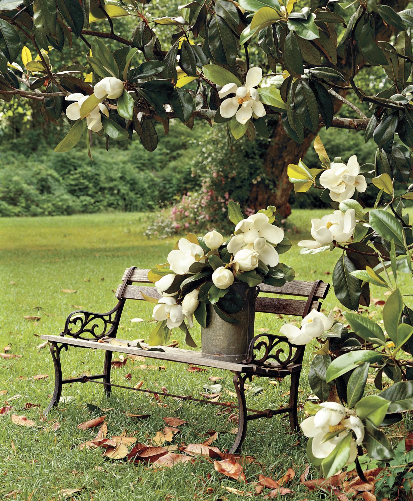Magnolia Tree Flowers Around Bench