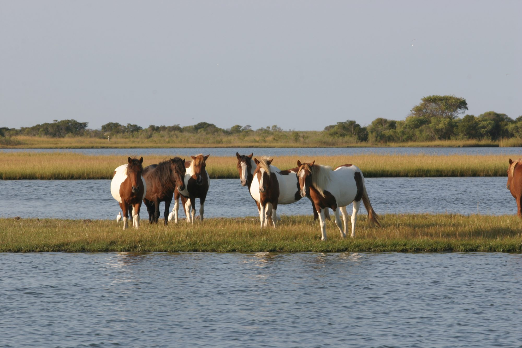 Assateague Island Wild Ponies