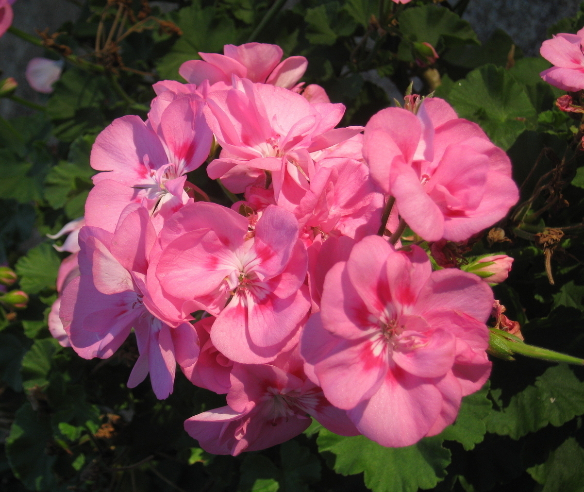 Like this geranium, many flowers sold as annuals in cold winter climates can become perennials by overwintering them inside. Photo by Steve Bender.