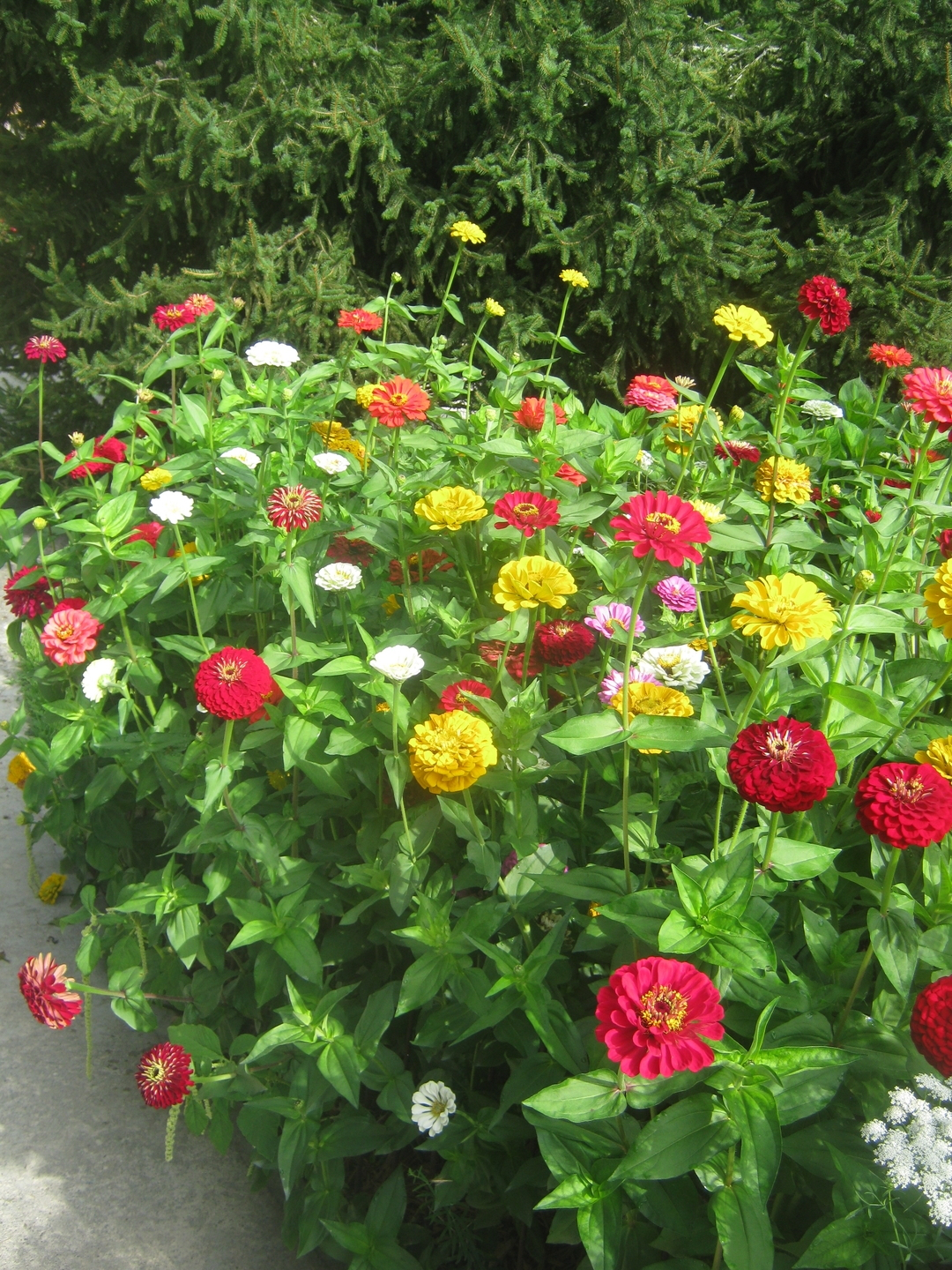 'Park's Picks' big-flowered zinnias at Becky Savitz's garden in Cashiers, NC. Photo by Steve Bender.