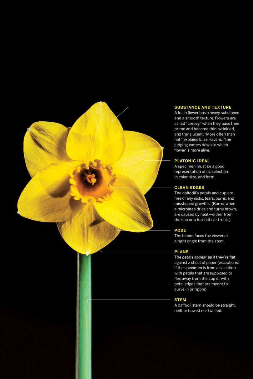 More Interesting Than Food Narcissus >> Secrets From A Competitive Southern Daffodil Exhibition