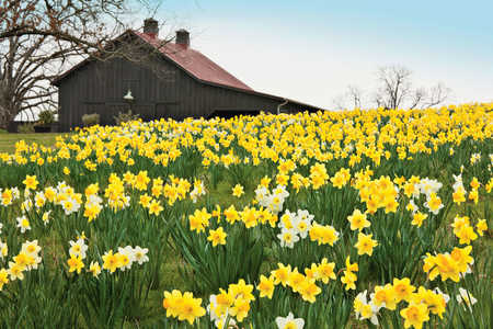 Yellow Daffodils in Field with Barn